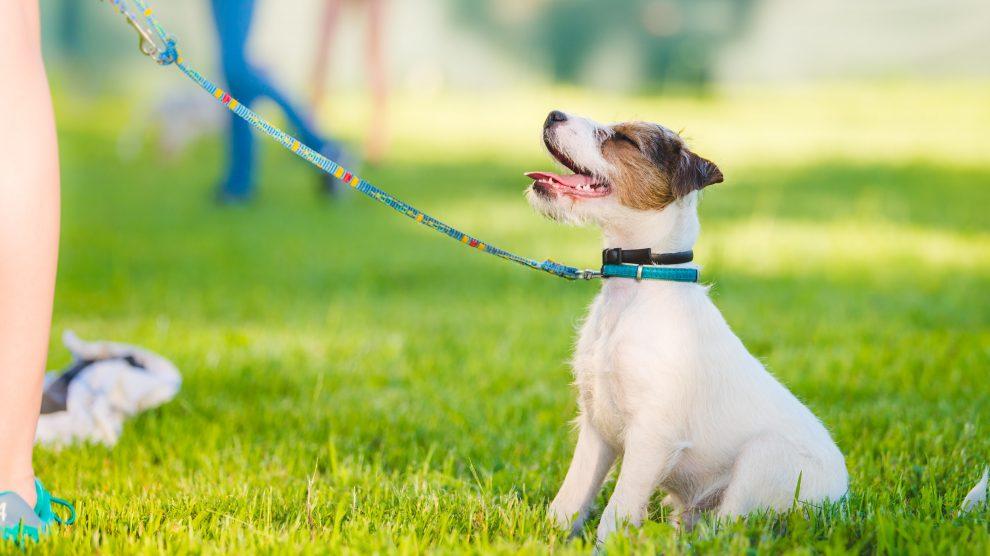 Psie Przedszkole Starszaki – zajęcia uzupełniające dla szczeniąt w wieku 4-6 miesięcy, które nie zdążyły dołączyć do psiego przedszkola