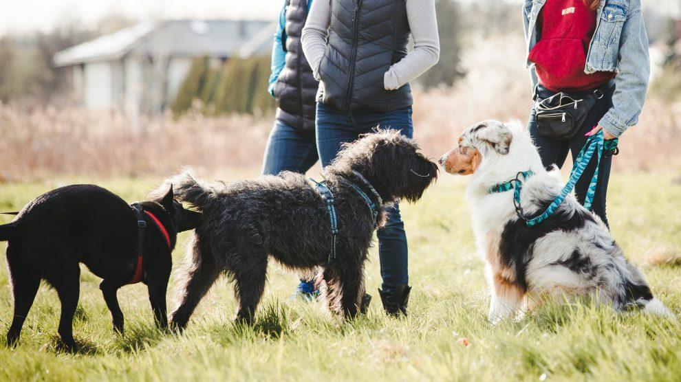 Bezpieczne przywitanie psów na spacerze – warsztat i rozszerzone konsultacje dla opiekunów psów.
